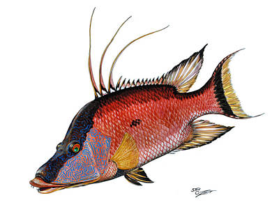 Hogfish On White Original by Steve Ozment