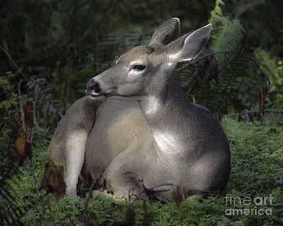 Photograph - Hoh River Doe by Tim Moore