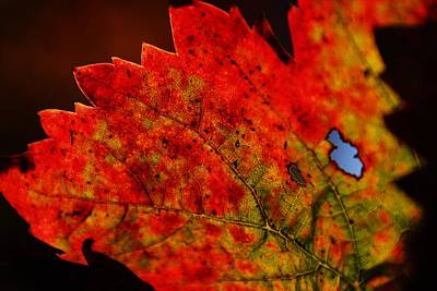 Photograph - Holey Leaf by Michael Courtney