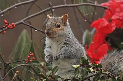 Christmas Squirrel Wall Art - Photograph - Holiday Cheer by Deborah Bifulco