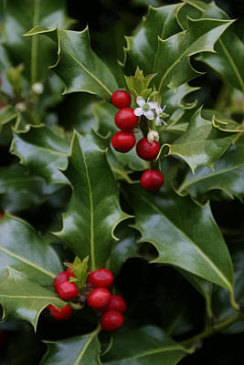 Photograph - Holiday Holly by Wes and Dotty Weber