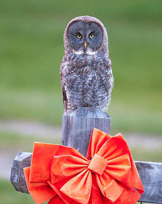 Photograph - Holiday Owl  by Kevin  Dietrich