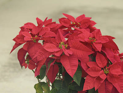 Holiday Poinsettia Art Print by Kim Hojnacki