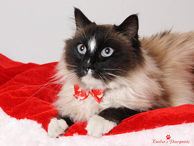 Photograph - Holiday Ragdoll  by Kimber  Butler