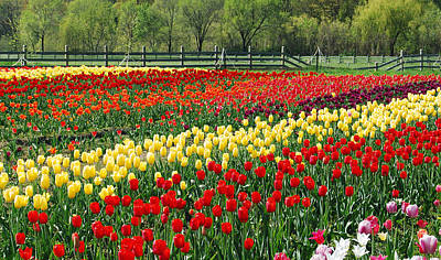 Fence Row Photograph - Holland Tulip Fields by Michael Peychich