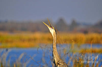 Gray Heron Photograph - Hollering Heron by Al Powell Photography USA