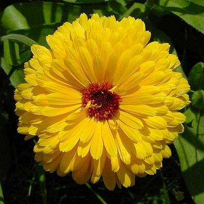 Photograph - Holligold Blossoming Yellow Pot Marigold Flower  by Tracey Harrington-Simpson