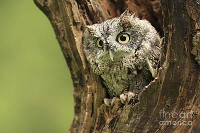 Hollow Screech- Eastern Screech Owl Art Print