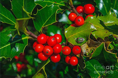 Photograph - Holly And Berries by Tikvah's Hope