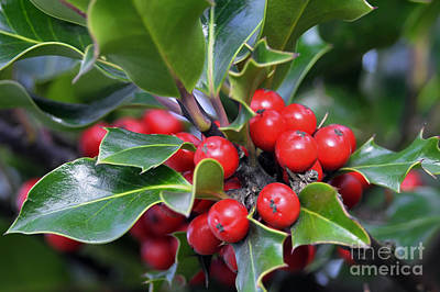 Photograph - Holly Berries 2 by Sharon Talson