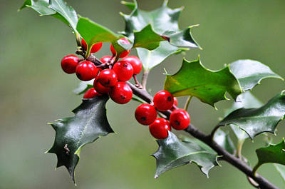 Halle Berry Photograph - Holly Berries by Bill Cannon