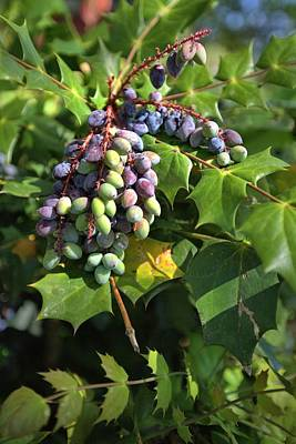 Photograph - Holly Berries by Gordon Elwell