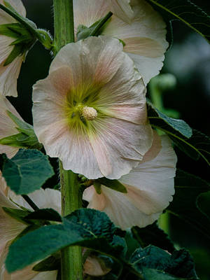 Photograph - Holly Hock by Jennifer Kano