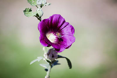 Photograph - Hollyhock Bee by Crystal Cox