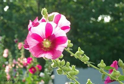 Photograph - Hollyhock Pinwheel by Christine Nichols