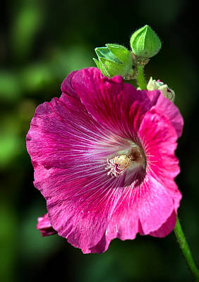 Photograph - Hollyhock by Tomasz Dziubinski