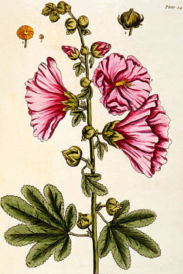 Flora Drawing - Hollyhocks by Elizabeth Blackwell