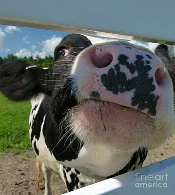 Pineland Farms Photograph - Holstein Cow Nose by Christine Stack