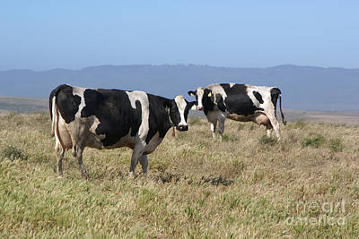 Photograph - Holsteins Cows  by Tina Hailey