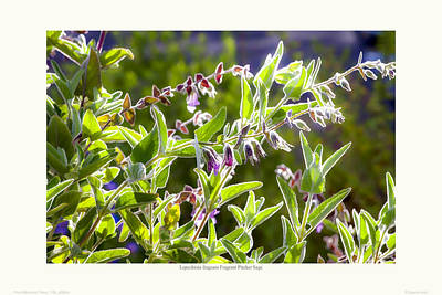 Lepechinia Fragrans - Pitcher Sage Art Print