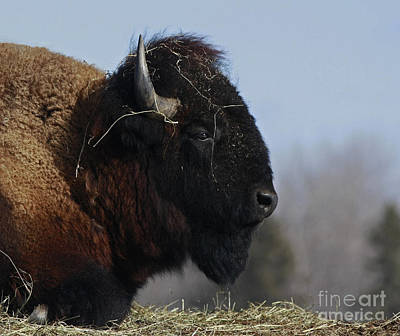 Home On The Range Bison Print by Inspired Nature Photography Fine Art Photography