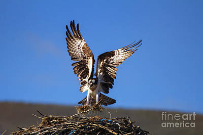 Osprey Photograph - Homebuilder by Mike  Dawson