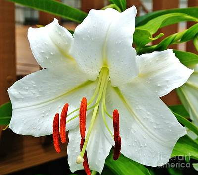 Wrap Digital Art - Homegrown Acascia Lily by Marsha Heiken