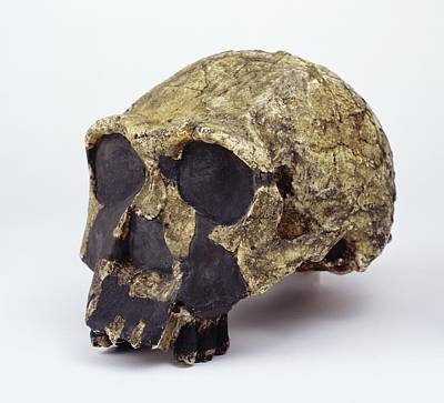 Er Photograph - Homo Ergaster Cranium (knm-er 3733) by Science Photo Library