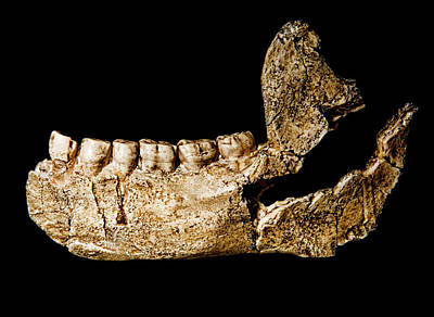 Photograph - Homo Ergaster, Lower Jaw Fossil by Millard H. Sharp