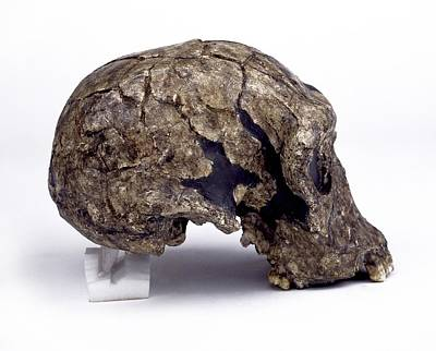 Er Photograph - Homo Habilis Cranium (knm-er 1813) by Science Photo Library