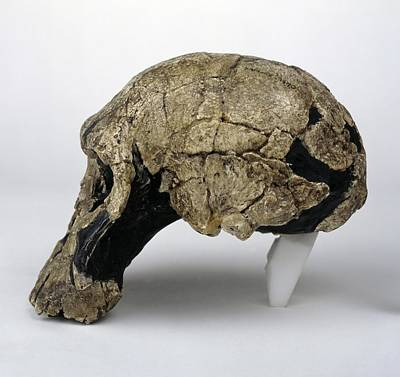 Er Photograph - Homo Rudolfensis Cranium (knm-er 1470) by Science Photo Library