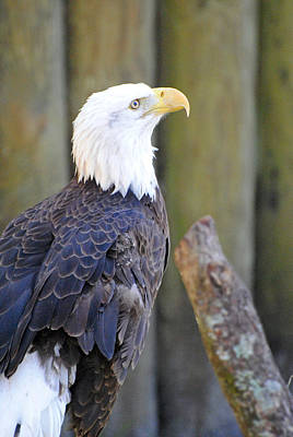 Photograph - Homosassa Springs Bald Eagle by Jeff Brunton