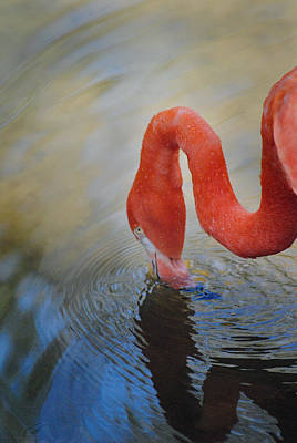 Photograph - Homosassa Springs Flamingo 1 by Jeff Brunton