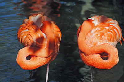 Photograph - Homosassa Springs Flamingos 14 by Jeff Brunton
