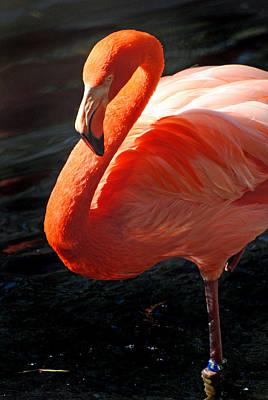Photograph - Homosassa Springs Flamingos 8 by Jeff Brunton