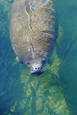 Photograph - Homosassa Springs Manatee 4 by Jeff Brunton