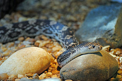 Photograph - Homosassa Springs Snake by Jeff Brunton