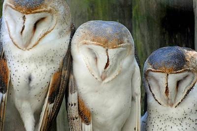 Photograph - Homosassa Springs Snowy Owls 1 by Jeff Brunton