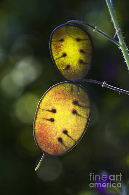 Seedpods Photograph - Honesty Seed Pods by Tim Gainey