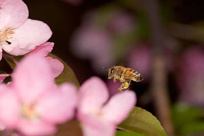 Photograph - Honey Bee And Crabapple by Bernard Lynch
