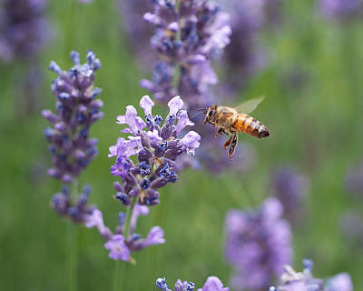 In Flight Photograph - Honey Bee And Lavender by Rona Black