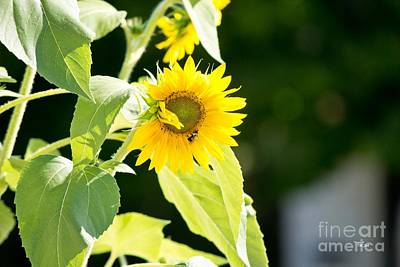 Photograph - Honey Bee And Sunflower by Ms Judi