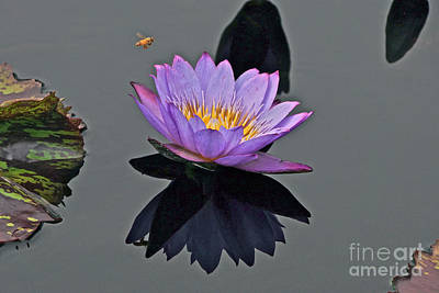 Photograph - Honey Bee And Water Lily - Disappearing Beauty by Byron Varvarigos