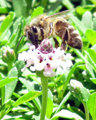 Photograph - Honey Bee At Work by Bonnie Muir