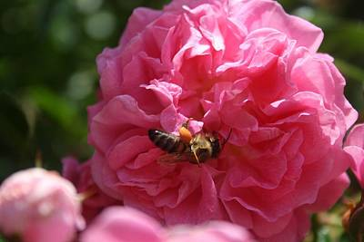 Photograph - Honey Bee Collecting Pollen On A Pink Rose by Tracey Harrington-Simpson