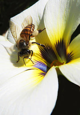 Photograph - Honey Bee by David Clode