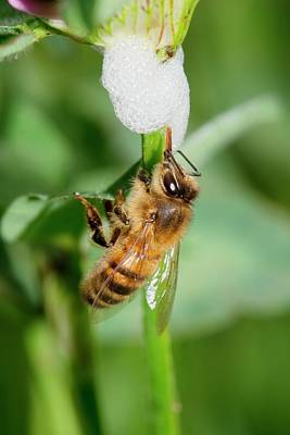 Spit Photograph - Honey Bee Drinking From Cuckoo-spit by Dr. John Brackenbury