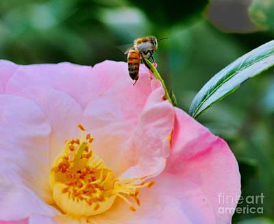 Honey Bee Emerges From Pink Art Print by Wayne Nielsen