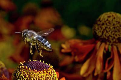 Honey Bee Flying Over Flowers (apis Print by Andres Morya Hinojosa