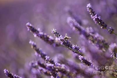 Photograph - Honey Bee In Lavender by Brian Jannsen